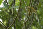 Thumbnail Central American squirrel monkey (Saimiri oerstedii), Manuel Antonio National Park, Central Pacific Coast, Costa Rica, South America