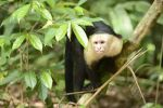Thumbnail White-headed or White-faced capuchin (Cebus capucinus), Manuel Antonio National Park, Central Pacific Coast, Costa Rica, South America