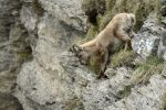 Thumbnail Young Alpine Ibex (Capra ibex), climbing on rocks, Mt Niederhorn, Schwitzerland, Europe