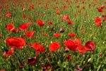Thumbnail Field of poppies (Papaver rhoeas), Hausem am Albis, Switzerland, Europe