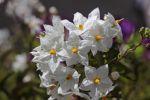 Thumbnail Potato vine (Solanum jasminoides)