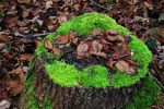 Thumbnail Stump with moss and leaves /