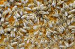 Thumbnail Honey bees (Apis mellifera), worker bees caring for the brood, larvae, circa 8 days