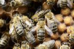 Thumbnail Honey bees (Apis mellifera), worker bees on capped drone brood cells