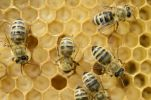 Thumbnail Honey bees (Apis mellifera), worker bees caring for the brood, on brood cells, larvae, circa 8 days