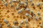 Thumbnail Honey bees (Apis mellifera), worker bees caring for the brood, on brood cells, larvae, circa 8 days, in honeycomb cells
