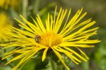 Thumbnail Honey been (Apis mellifera) on flower of Elecampane or Horse-heal (Inula helenium)