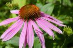 Thumbnail Purple coneflower (Echinacea purpurea), flower, medicinal plant, immunostimulant