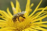Thumbnail Honey bee (Apis mellifera) collecting nectar on flower of Elecampane or Horse-heal (Inula helenium)