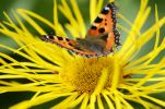 Thumbnail Small Tortoiseshell (Aglais urticae, Nymphalis urticae) on flower of Elecampane or Horse-heal (Inula helenium)