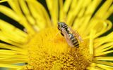 Thumbnail Wasp on flower of Elecampane or Horse-heal (Inula helenium)