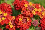 Thumbnail Spanish Flag or West Indian Lantana (Lantana camara), flower clusters or umbels