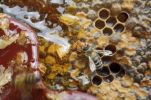 Thumbnail Honey bee (Apis mellifera) nibbling on the open honey comb with leaking honey, after the wax lid was removed with the wax comb
