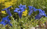 Thumbnail Gentian (Gentiana clusii) in a rock garden /
