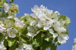 Thumbnail Apple blossoms (Malus sp. Hybrids Mill.) /