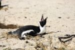 Thumbnail Jackass Penguin, Black-footed Penguin or African Penguin (Spheniscus demersus), incubating eggs / Boulder, Simon's Town, Western Cape, South Africa, Africa