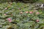 Thumbnail Indian lotus flowers (Nelumbo nucifera) /