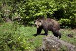 Thumbnail Brown Bear (Ursus arctos), Neuschoenau wildlife enclosure, Bavarian Forest, Bavaria, Germany, Europe, PublicGround