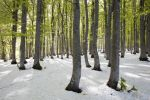 Thumbnail Freshly fallen snow in spring, beech trees with fresh green leaves, Mt Kandel, Black Forest, Baden-Wuerttemberg, Germany, Europe