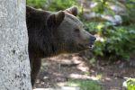 Thumbnail Brown bear (Ursus arctos), Neuschoenau outdoor animal enclosure, Bavarian Forest, Bavaria, Germany, Europe, PublicGround
