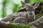 Thumbnail Fallow deer (Dama dama), fawn, Neuschoenau outdoor animal enclosure, Bavarian Forest, Bavaria, Germany, Europe, PublicGround