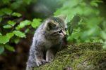 Thumbnail Junge Wildkatze (Felis silvestris) im Tierfreigehege Neuschoenau, Bayerischer Wald, Bayern, Deutschland, Europa, OeffentlicherGrund