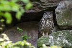 Thumbnail Eagle Owl (Bubo bubo), Neuschoenau outdoor animal enclosure, Bavarian Forest, Bavaria, Germany, Europe, PublicGround