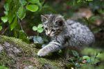 Thumbnail Young wildcat (Felis silvestris), Neuschoenau outdoor animal enclosure, Bavarian Forest, Bavaria, Germany, Europe, PublicGround