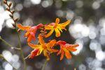 Thumbnail Montbretia or Coppertips (Crocosmia), invasive plant in Hawaii, Big Island, Hawaii, USA