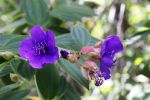 Thumbnail Tibouchina (Melastomataceae), invasive plant in the rain forest, Hawai?i Volcanoes National Park, Big Island, Hawaii, USA