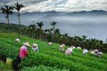 Thumbnail Bihu Tea Garden, Taiwan, China, Asia