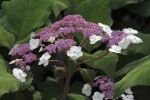 "Thumbnail Large-leaved scabrous Hydrangea (Hydrangea aspera """"Macrophylla"""")"