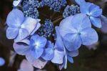 Thumbnail Bigleaf, Mophead, French or Lacecap Hydrangea (Hydrangea macrophylla), cultivar, garden hydrangea