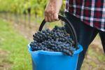 Thumbnail Winemaker or vintner harvesting grapes in his vineyard, Rhineland-Palatinate, Germany, Europe