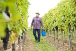 Thumbnail Winemaker or vintner harvesting grapes in his vineyard, Rhineland-Palatinate, Germany, Europe