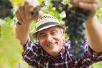 Thumbnail Winemaker or vintner cutting grapes in his vineyard, Rhineland-Palatinate, Germany, Europe