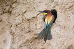 Thumbnail Bee-eater (Merops apiaster) perched outside breeding tubeSaxony-Anhalt, Germany, Europe