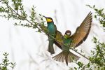 Thumbnail Two Bee-eaters (Merops apiaster) perched on a twigSaxony-Anhalt, Germany, Europe