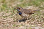 Thumbnail Bluethroat (Luscinia svecica) with a wormTexel, province of North Holland, Netherlands, Europe