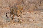 Thumbnail Leopard (Panthera pardus) roaming through its territory Etosha National Park, Namibia, Africa