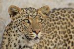 Thumbnail Leopard (Panthera pardus), portrait Etosha National Park, Namibia, Africa