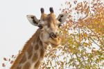 Thumbnail Giraffe (Giraffa camelopardalis), portrait Etosha National Park, Namibia, Africa