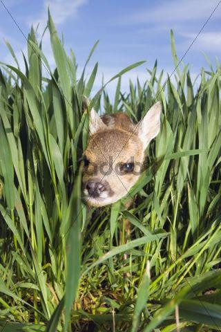 Roe deer Capreolus capreolus, fawn between blades of grass, South Moravia, Czech Republic, Europe
