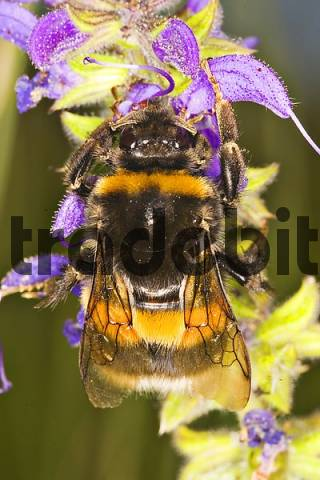 Bombus terrestris on a flower