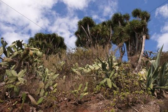 Indian Fig Opuntia Opuntia ficus-indica and Canary Islands Dragon Tree or Drago Dracaena draco, La Palma, Canary Islands, Spain, Europe