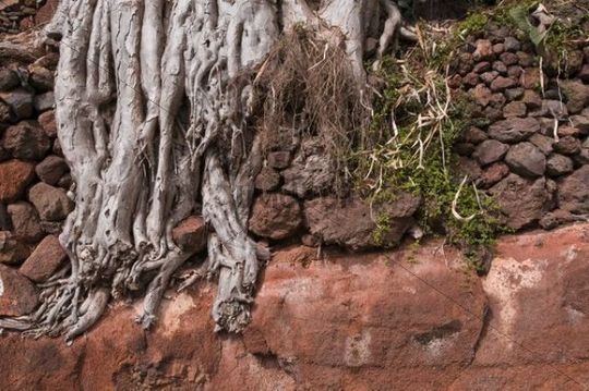 Aerial roots of a Canary Islands Dragon Tree or Drago Dracaena draco, La Palma, Canary Islands, Spain, Europe