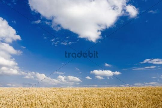 Cornfield against a blue cloudy sky, Hodonin district, South Moravia, Czech Republic, Europe