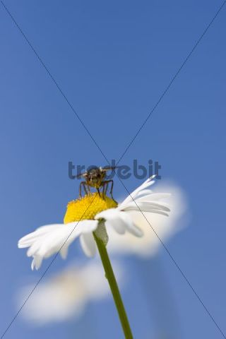 Oxeye Daisy or White Daisy Leucanthemum vulgare, fly perched on yellow fruit seeds