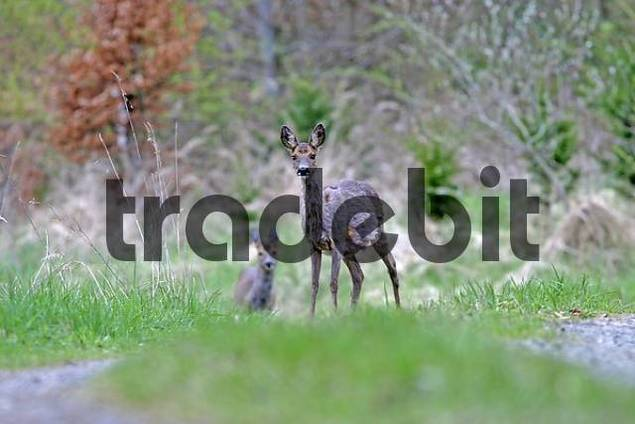 Two deers Capreolus capreolus are standing on a forest path