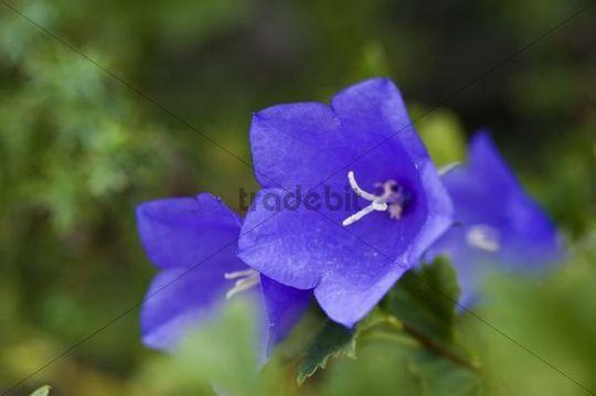 Bell flower Campanula patula, Hiiumaa, Baltic Sea Island, Estonia, Baltic States, Northeast Europe